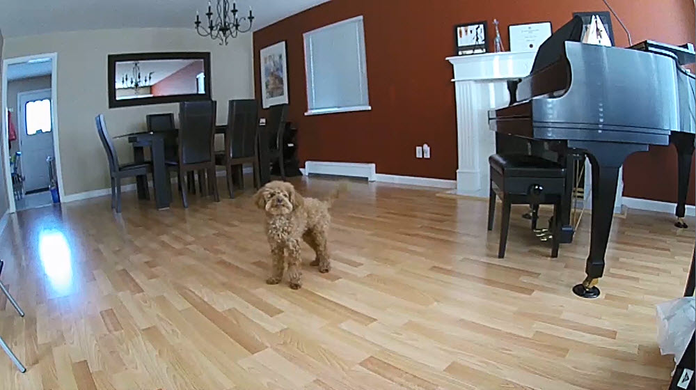 Arlo Q Camera Puppy Dancing Video Still
