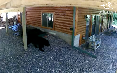 Momma Bear & Cub Caught On Arlo